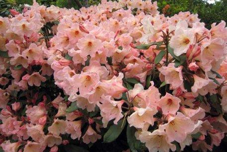 Biolan Rododendrų ir spygliuočių žemė