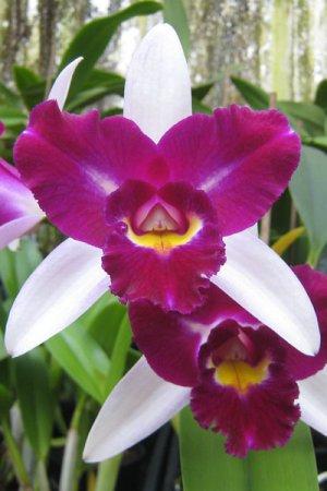 Biolan Orchidėjų žemė
